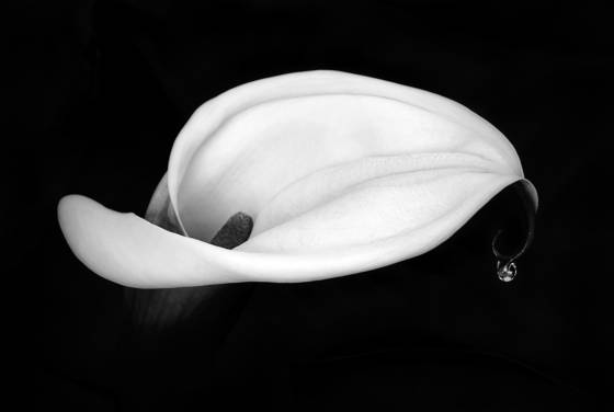 Early_morning_calla