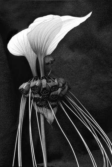 Bat_flower