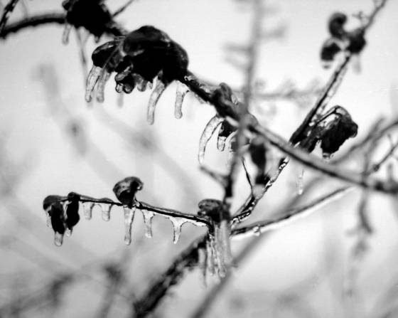 Frozen_blossoms