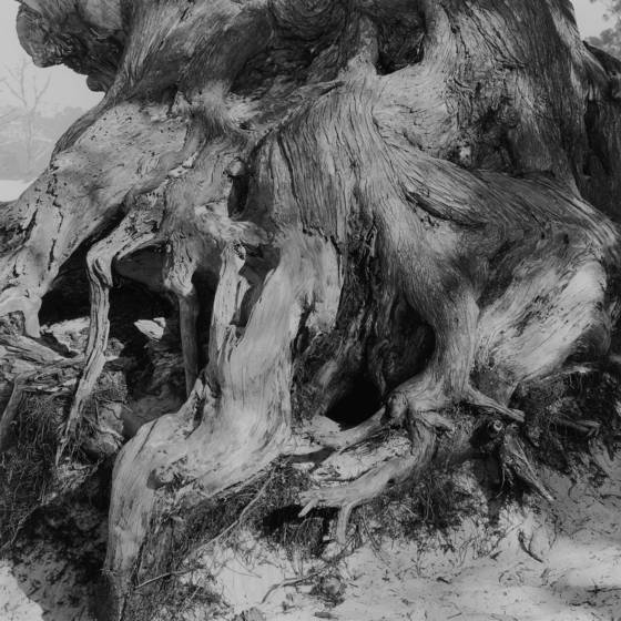 Cypress_roots