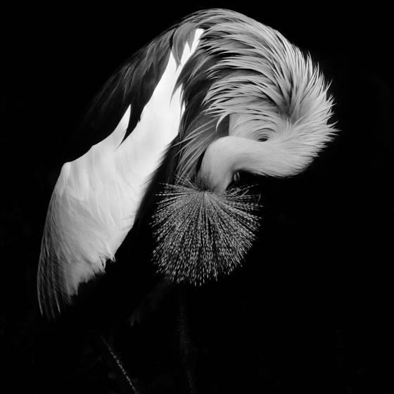 African_grey_crane