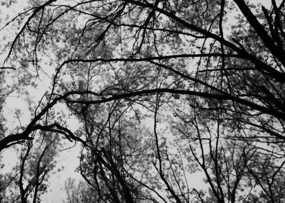 Flowering_tree_2