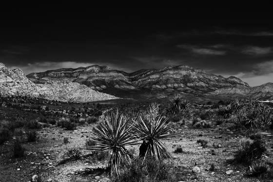 Desert_palms