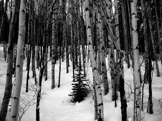Aspens_in_snow