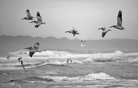 Pelicans and seagulls