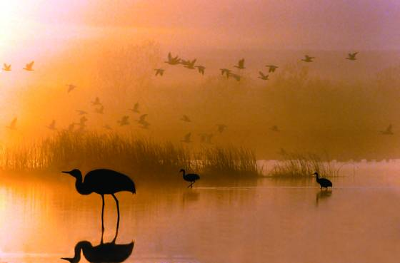 Sandhill_crane_morning