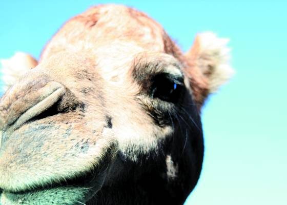 Camel_in_your_face