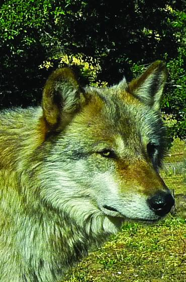 Wolf_6