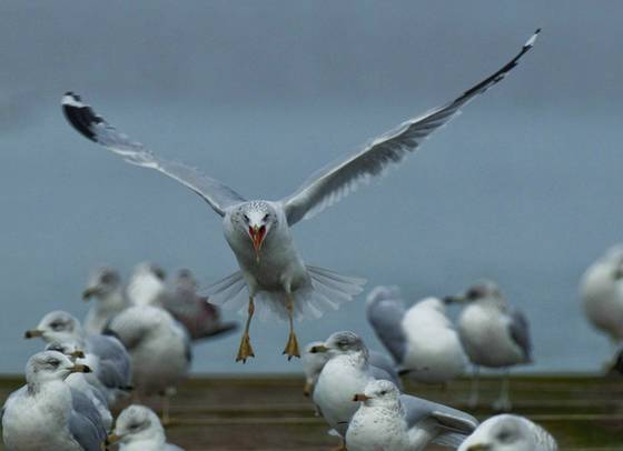 Gulls_90