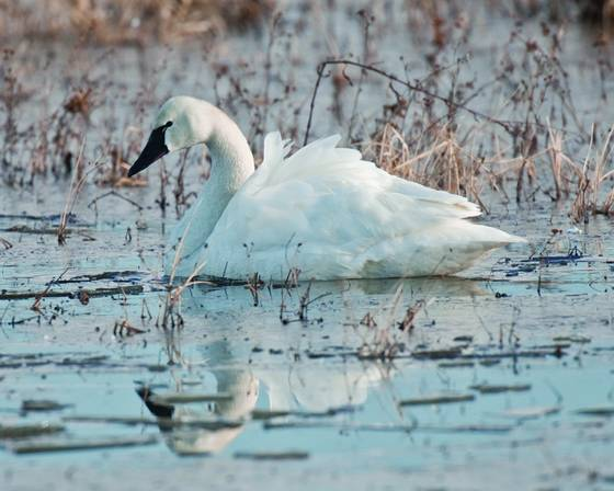 Tundra_swan_9192