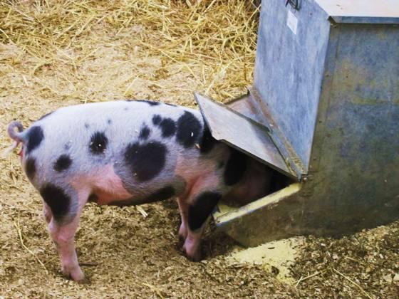Piggin__out
