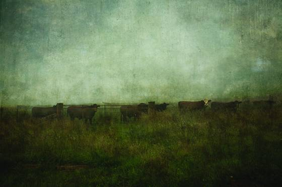 Cows_in_paddock