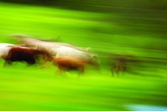Running_cows