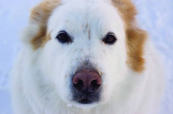 Snow_dog