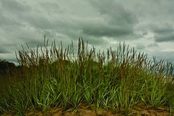 Beach_grass