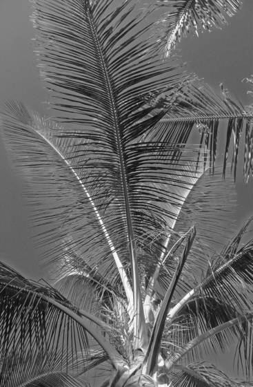 Maui_tree