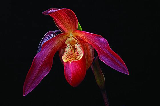 Red_orchid