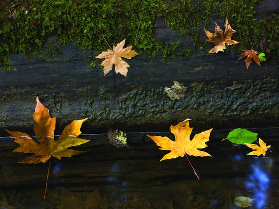 Floating_leaves_and_redwood_log