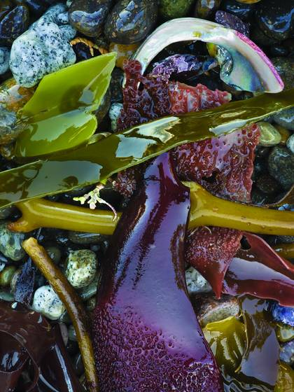 Kelp_and_shell_fragment_3