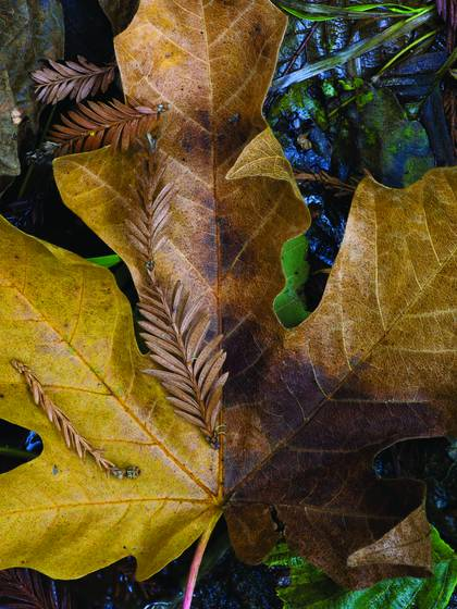 Maple_leaf_and_redwood_fronds