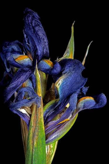 Blue_iris