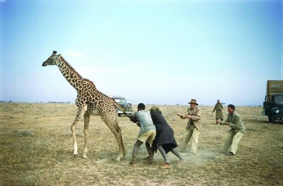 Giraffenapping