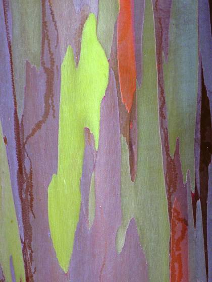Rainbow_eucalyptus