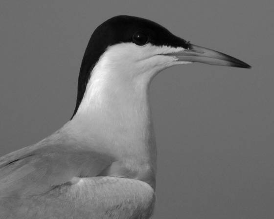 Common_tern_portrait