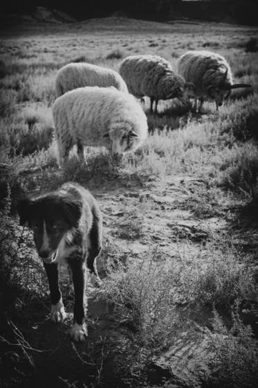Sheep_dog