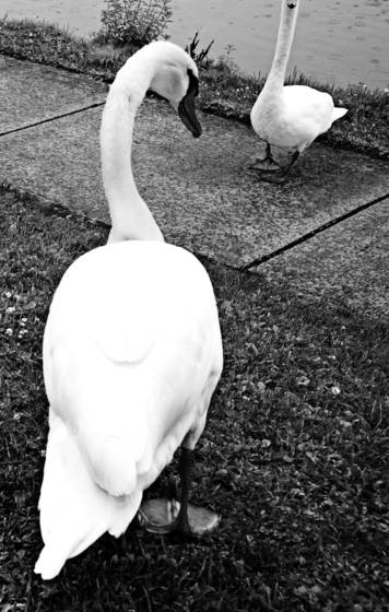 Two_swans