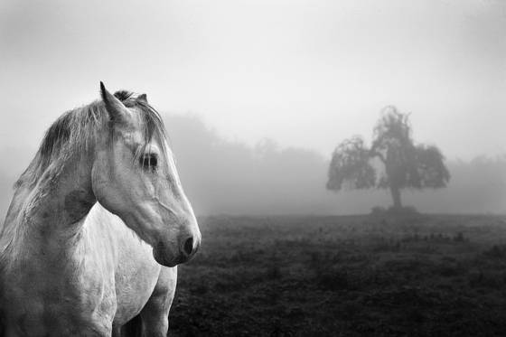 Horse_and_tree_in_fog