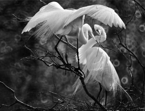 Great_egrets