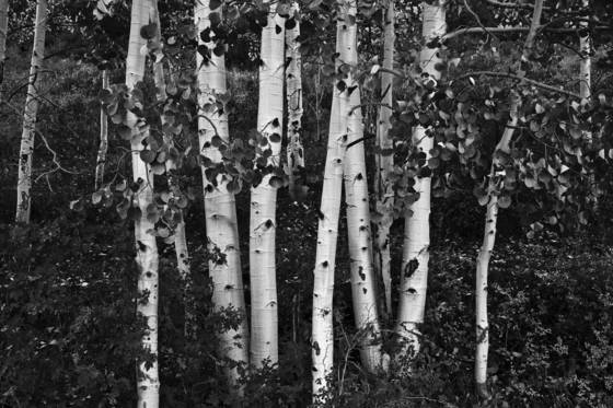 Aspens