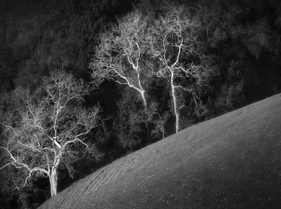 White_trees