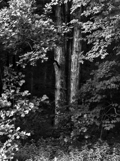 Black_oak