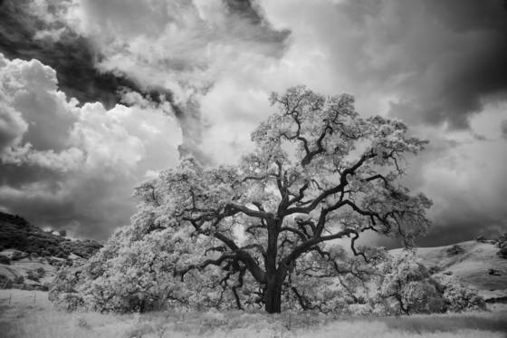California_blue_oak