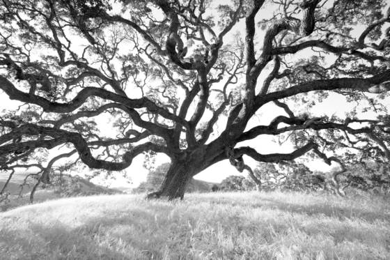 Big california oak