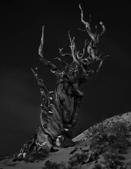 Bristlecone_pine