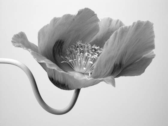 Poppy_4