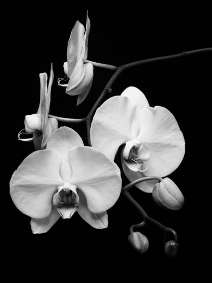 Orchid__1