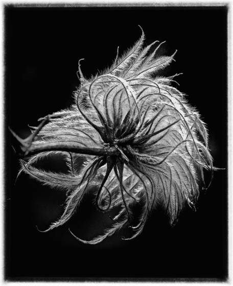 Clematis_seedpod