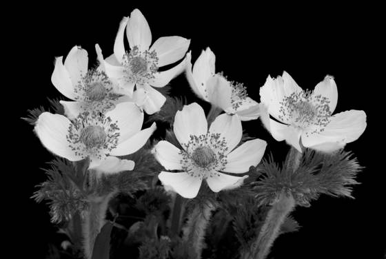 Anemone_occidentalis