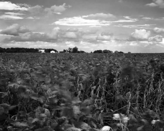 Bean_field