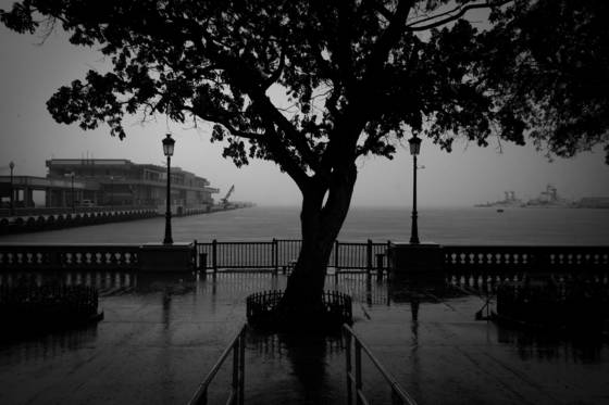 Rain_tree