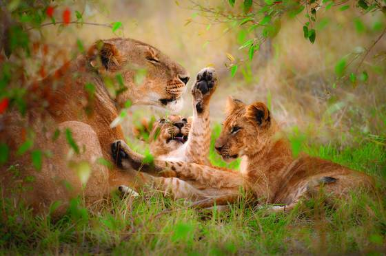 Lioness_and_cubs