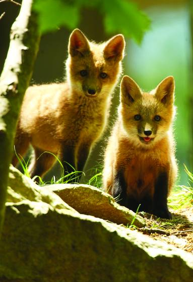 Fox_cubs