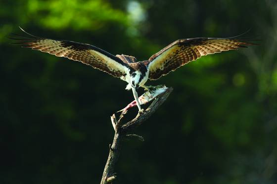 Osprey_landing_lunch