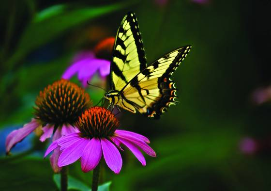 Tiger_swallowtail