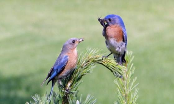 Eastern_bluebirds