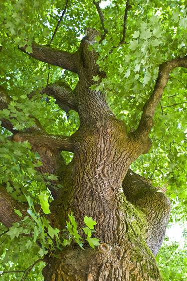 Dancing_tree